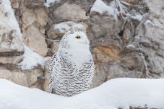 White owl or snowy owl Royalty Free Stock Image