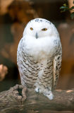 White owl standing on a branch. Observing Stock Photography