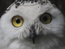 White Owl Stock seems to be awake. Less grads eyes of Owl Stock on a blurred tree background Stock Image