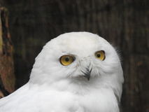 White Owl Stock seems to be awake. Less grads eyes of Owl Stock on a blurred tree background Stock Images