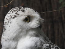 White Owl Stock seems to be awake. Head of the Owl Stock on a blurred tree background Royalty Free Stock Image