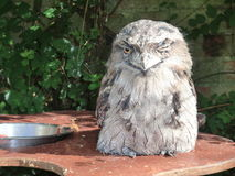 White owl winking. A white owl sitting on a table winking Royalty Free Stock Photos