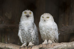 White owls Royalty Free Stock Images