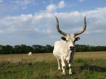 White ox Stock Photo