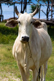 White ox. Closeup of a white ox staring right at you Royalty Free Stock Photo