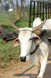 White ox pulling cart Stock Photo