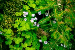 White Oxalis in the Russian forest, green background, fur tree, cones, soft-focus, blur, moire. White Oxalis in the Russian forest, green background, fur tree stock photography
