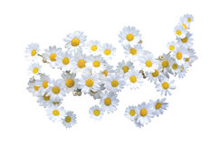 White Oxe-eye daisy May flowers Royalty Free Stock Image