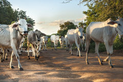White oxen on dirt street. Stock Photos