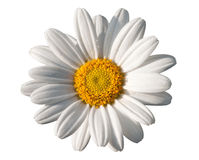 White oxeye daisy Stock Images