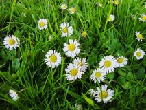 White oxeye daisy flowers blossom in spring royalty free stock images
