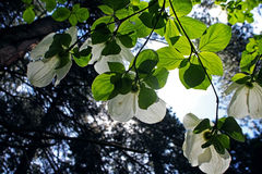 White Pacific Dogwood, Yosemite, Yosemite National Park. White Pacific Dogwoods are in full bloom in the forest of Yosemite National Park, Yosemite, California royalty free stock photography