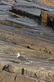 White Pacific Gull with red-tipped yellow bill standing on rock, Stock Images