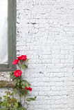 White painted brick wall and red roses Royalty Free Stock Image
