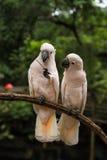 White Pair lovebirds. In park Stock Image