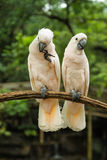 White Pair lovebirds. In park Royalty Free Stock Photography