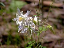 White Columbines on North Rim of Grand Canyon stock photo