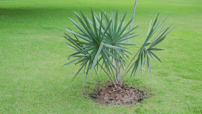 White palm on grass, Palm special species scarce Stock Photo