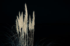 White pampas on black background Royalty Free Stock Photo