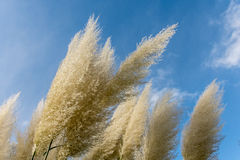 White pampas grass Royalty Free Stock Photography
