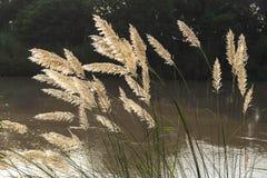 White Pampas grass Royalty Free Stock Photos