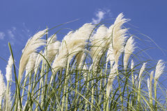 White Pampas Grass with Flower Royalty Free Stock Images
