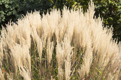 White Pampas Grass Royalty Free Stock Image
