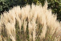 White Pampas Grass Royalty Free Stock Image