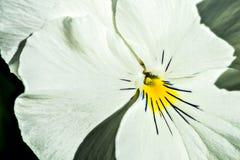 White pancy flower Royalty Free Stock Image