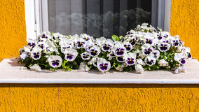 White pansies at window Stock Photo