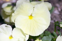 White pansy. A close-up of a white pansy royalty free stock photos