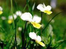 White pansy. Pansy flowers on a meadow stock photography