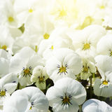 White Pansy Flowers Stock Photos