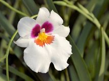 White Pansy Orchid Stock Photography
