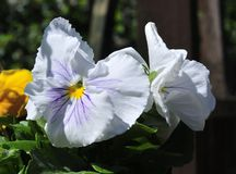 White Pansy. Royalty Free Stock Photos