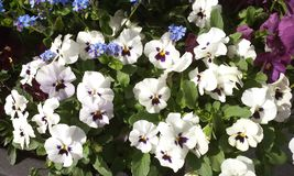 White Pansy or Stepmother Flower. Close up of white Pansy or Stepmother& x27;s Flower, Love in idleness & x28; Viola tricolor L. and hybrids & x29; Beautiful Royalty Free Stock Image
