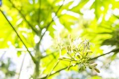 White papaya flowers Royalty Free Stock Photo