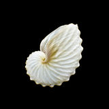 White Paper Nautilus or Argonauts seashell Royalty Free Stock Images