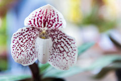 White Paphiopedilum orchid. Beautiful White Paphiopedilum orchid in Thailand,Close up of beautiful orchid Royalty Free Stock Photo