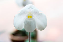 White Paphiopedilum orchid. Beautiful White Paphiopedilum orchid in Thailand,Close up of beautiful orchid Stock Photo