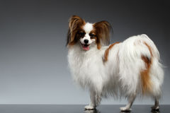 White Papillon Dog Stands and Looking back on black Royalty Free Stock Images