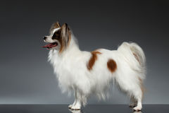 White Papillon Dog Stands and Looking Forward on black Royalty Free Stock Photo
