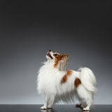 White Papillon Dog Stands and Looking Up on black Stock Photo
