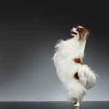 White Papillon Dog Stands on Rear Paws and Raise up Stock Photos