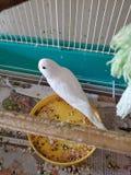 White parakeet snow stock photo