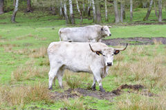 White Park cattle Stock Photography