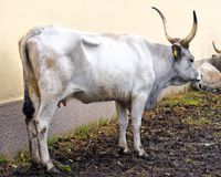 White Park cattle breed Royalty Free Stock Photography
