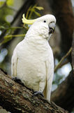 White parrot. White feather parrot with yellow feathers on head, sitting on a tree Stock Photo