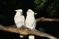 White parrot Stock Photos