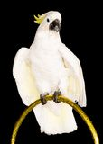 White parrot Stock Image